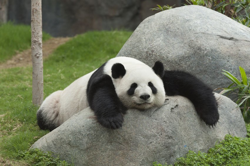 фото-большой-панды
